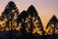 Bunya pines at sunset tableland with silhouette of Stock Photography