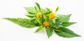 Bur-marigold - Bidens cernua - isolated on white Royalty Free Stock Image