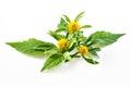 Bur marigold bidens cernua isolated on white background Royalty Free Stock Image