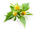 Bur marigold bidens cernua isolated on white background Stock Photography
