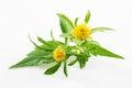 Bur marigold bidens cernua isolated on white background Royalty Free Stock Images