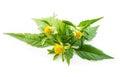Bur marigold on white background Stock Photo