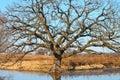 Bur Oak (Quercus macrocarpa) Royalty Free Stock Photo