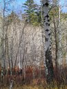 Burch Trunks in Early November, Eastern Washington