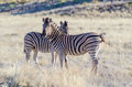 Burchell's zebras equus quagga burchellii in the savannah Royalty Free Stock Image