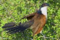 Burchell s coucal centropus burchelli aka white browed also known as the rain bird in kruger national park south africa Stock Images
