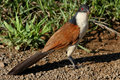 Burchell s coucal feeding on an insect Royalty Free Stock Image