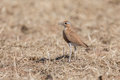 Burchell's courser Stock Photos