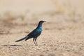 Burchell's glossy Starling stood on sandy ground