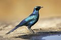 Burchell's starling Royalty Free Stock Photo