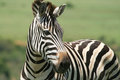 Burchell s zebra close up of a healthy young black and white striped equus quagga burchellii showing typical brown shadow lines Stock Image