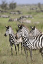 Burchell's zebra (Equus burchelli) Royalty Free Stock Photo