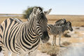 Burchell s zebra equus quagga burchellii Royalty Free Stock Photo