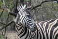 Burchell s zebra equus quagga burchellii in kruger national park south africa Stock Photos