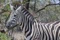 Burchell s zebra equus quagga burchellii in kruger national park south africa Stock Image
