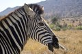 Burchell s zebra equus quagga burchellii in kruger national park south africa Stock Photography