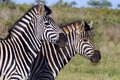 Burchell s zebra equus quagga burchellii in kruger national park south africa Royalty Free Stock Images