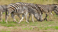 Burchell s zebra kruger national park south africa grazing Royalty Free Stock Photography