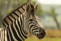 Burchell's Zebra in south africa Stock Photography