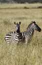 Burchell's Zebras Stock Photos