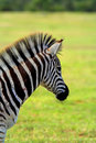 Burchell Zebra Royalty Free Stock Images