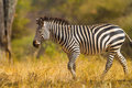 Burchell zebra walks slowy hot plains serengeti Royalty Free Stock Photo