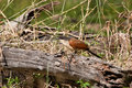 Burchells coucal Royaltyfria Foton