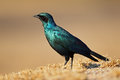 Burchells starling lamprotornis australis sabi sand nature reserve south africa Royalty Free Stock Photos