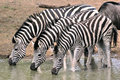 Burchells zebra wild in national park in south africa Stock Image