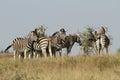 Burchells Zebras Stock Photo
