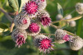 Burdock Royalty Free Stock Photo