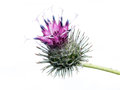 Burdock the downy or woolly is a species of that grows in europe and western asia isolated on white Stock Image