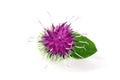 Burdock flower isolated on white background. Medicinal plant: Arctium Royalty Free Stock Photo