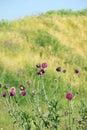 Burdock flowers with bees spring season Royalty Free Stock Photos