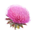 Burdock flowers on a white background Stock Photography