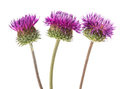 Burdock flowers on a white background Stock Images
