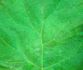 Burdock leaf green for background Stock Images
