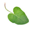 Burdock leaves isolated on white Stock Image
