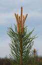 Burgeon on pine tree top Royalty Free Stock Photo