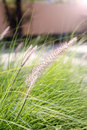 Burgrass on soft blur background with lens flare hedgehog grass Royalty Free Stock Photos