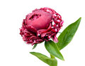 Burgundy  peony Royalty Free Stock Photography