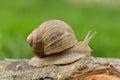 Burgundy snail on a branch Royalty Free Stock Photo
