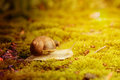 Burgundy snail (Helix pomatia) on the moss under bright autmn sun Royalty Free Stock Photo