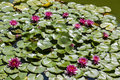 Burgundy water lily in a pond Royalty Free Stock Photo