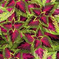 The burgundy with yellow coleus on white background, vector illustration