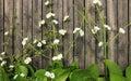 Burhead, Texas Mud Baby Flower on wooden floor Royalty Free Stock Photo