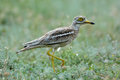 Burhinus oedicnemus (Eurasian Thick-knee, Eurasian Stone-curlew Royalty Free Stock Photo