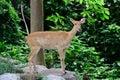 Burmese brow antlered deer or rucervus eldii thamin Stock Photography