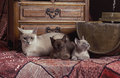 Burmese Cat Family