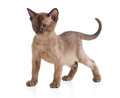 Burmese cat kitten on white Royalty Free Stock Photo